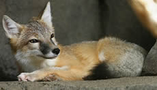 Northern Swift Fox