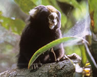 White-eared Marmoset