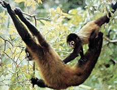 Panamanian Red Spider Monkey