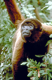 Yellow-tailed Woolly Monkey