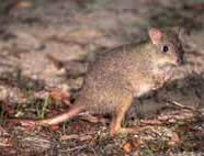 Queensland Rat-kangaroo