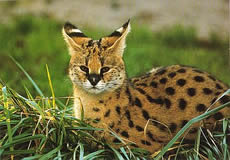 Barbary Serval