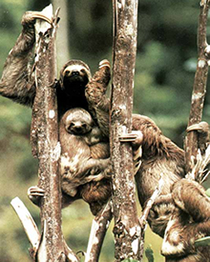 Brazilian Three-toed Sloth