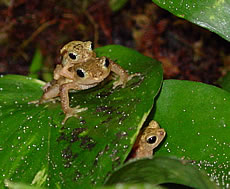 African Viviparous Toad