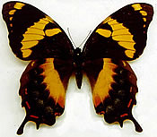 Jamaican Giant Swallowtail Butterfly