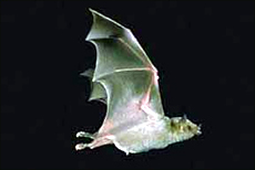Mexican Long-nosed Bat