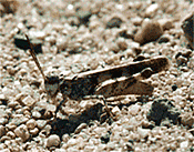 Zayante Band-winged Grasshopper
