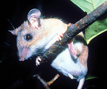 Key Largo Cotton Mouse