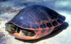 Alabama Red-belly Turtle