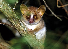 Ravelobe Mouse Lemur
