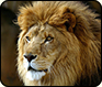 Creature Feature: African Lion