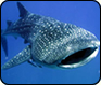 Creature Feature: Whale Shark