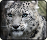 Creature Feature: Snow Leopard
