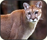 Creature Feature: Cougar